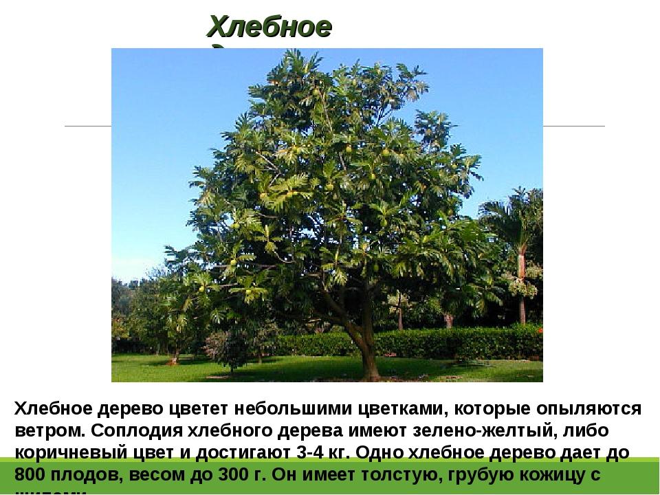 Хлебное дерево Хлебное дерево цветет небольшими цветками, которые опыляются в...