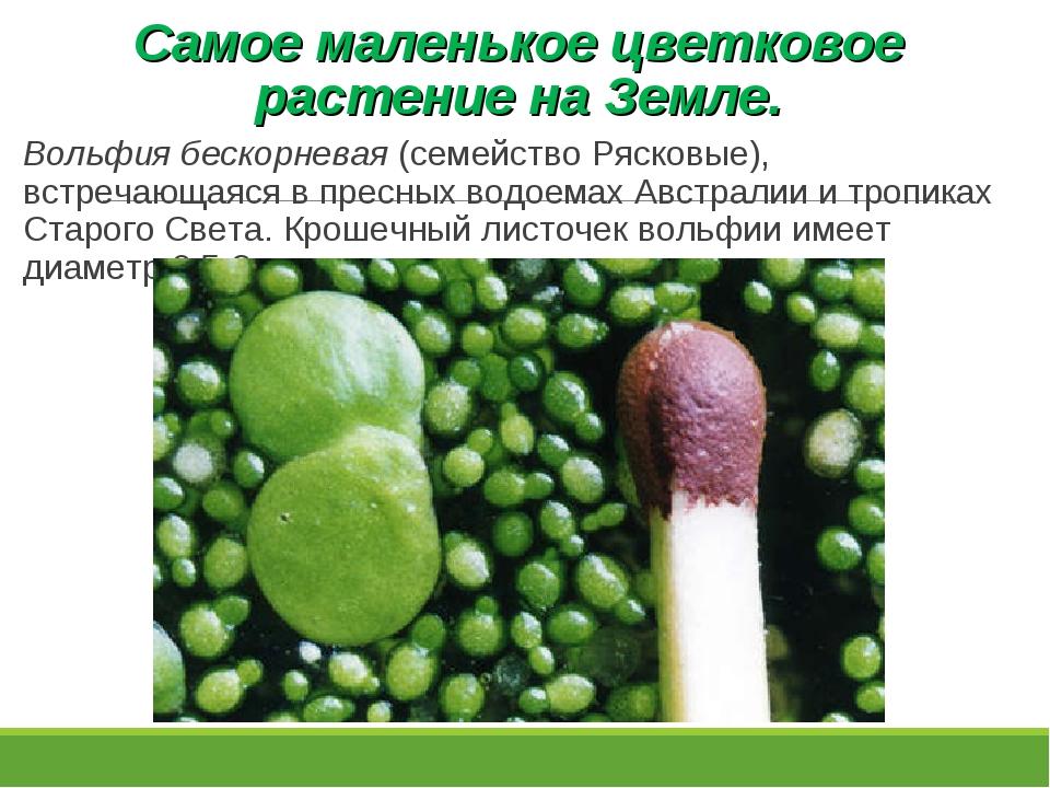 Самое маленькое цветковое растение на Земле. Вольфия бескорневая (семейство Р...