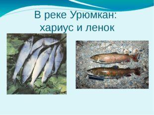 В реке Урюмкан: хариус и ленок