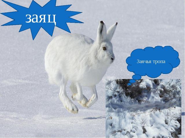 заяц Заячья тропа