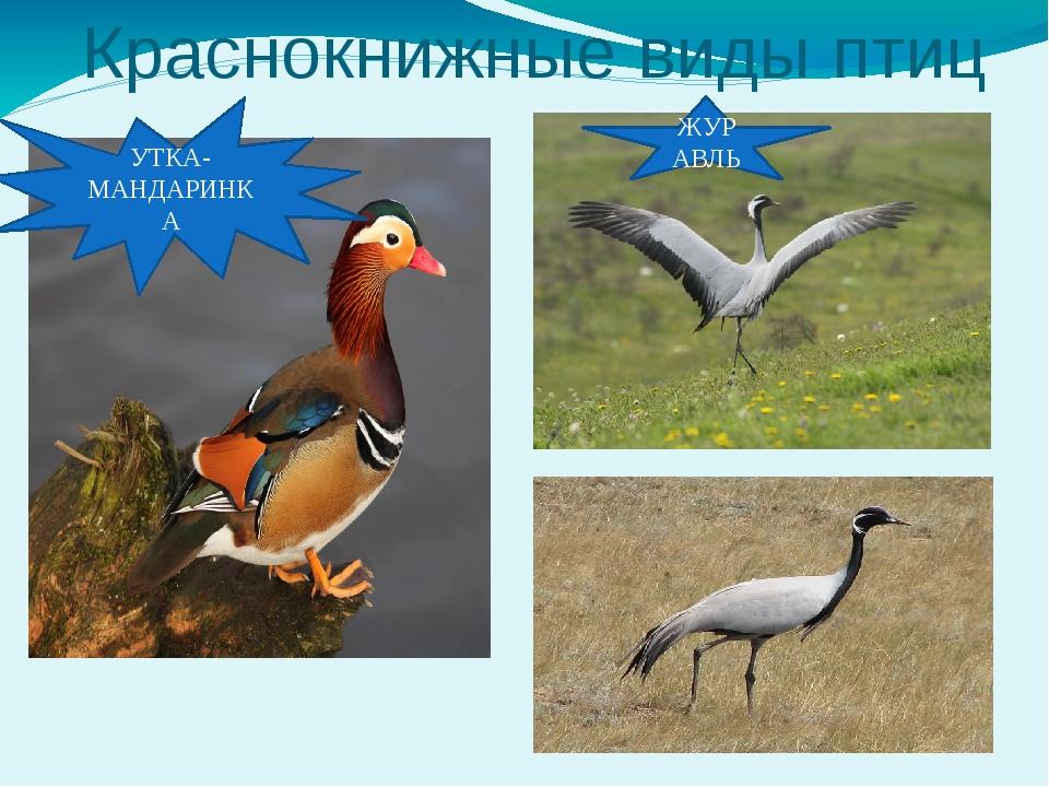 Краснокнижные виды птиц УТКА-МАНДАРИНКА ЖУРАВЛЬ
