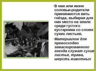 В мае или июне соловьи-родители принимаются вить гнёзда, выбирая для них мест