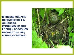 В гнезде обычно появляются 4-6 оливково-коричневых яиц. Птенцы соловьев выход