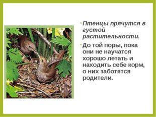 Птенцы прячутся в густой растительности. До той поры, пока они не научатся хо