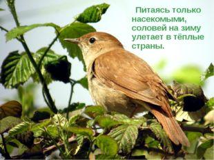 Питаясь только насекомыми, соловей на зиму улетает в тёплые страны.