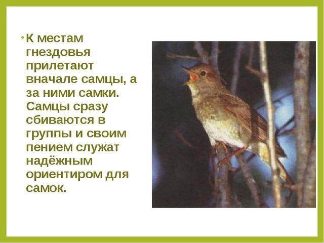 К местам гнездовья прилетают вначале самцы, а за ними самки. Самцы сразу сбив...