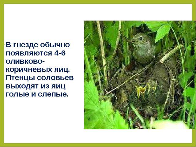 В гнезде обычно появляются 4-6 оливково-коричневых яиц. Птенцы соловьев выход...