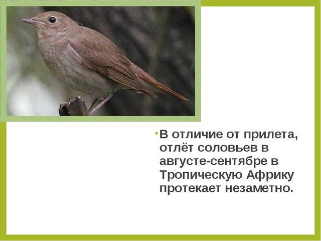 В отличие от прилета, отлёт соловьев в августе-сентябре в Тропическую Африку...
