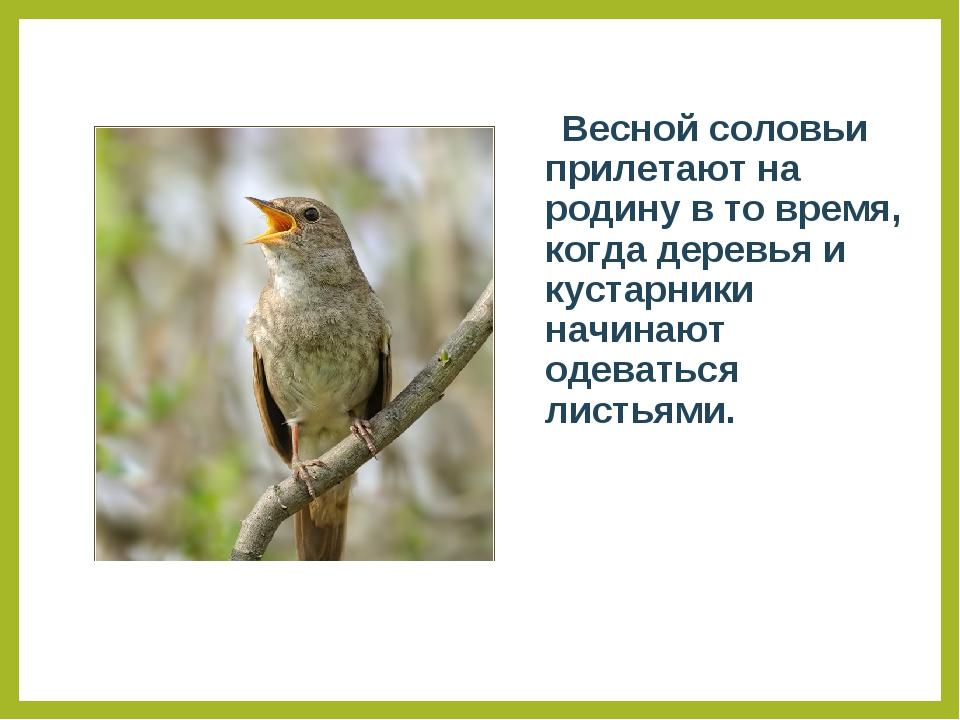 Весной соловьи прилетают на родину в то время, когда деревья и кустарники на...