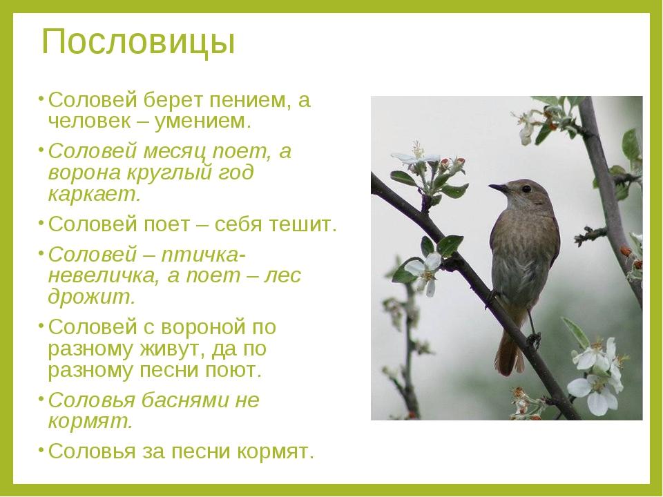 Пословицы Соловей берет пением, а человек – умением. Соловей месяц поет, а во...