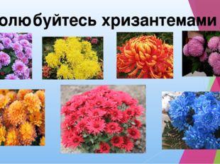 Полюбуйтесь хризантемами