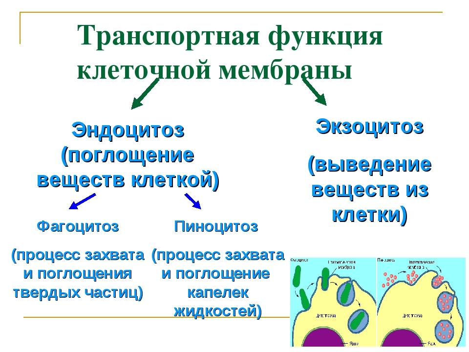 Транспортная функция клеточной мембраны Эндоцитоз (поглощение веществ клеткой...