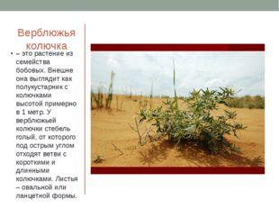 Верблюжья колючка – это растение из семейства бобовых. Внешне она выглядит ка