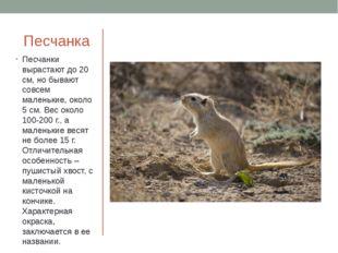 Песчанка Песчанки вырастают до 20 см, но бывают совсем маленькие, около 5 см.