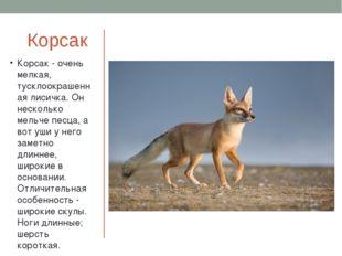 Корсак Корсак - очень мелкая, тусклоокрашенная лисичка. Он несколько мельче п