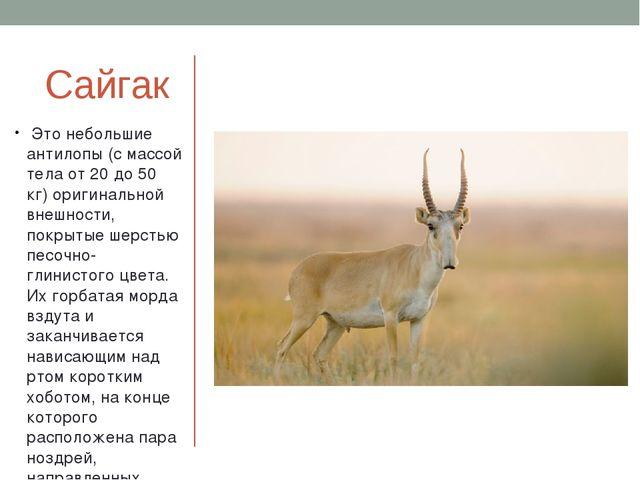 Сайгак Это небольшие антилопы (с массой тела от 20 до 50 кг) оригинальной вне...