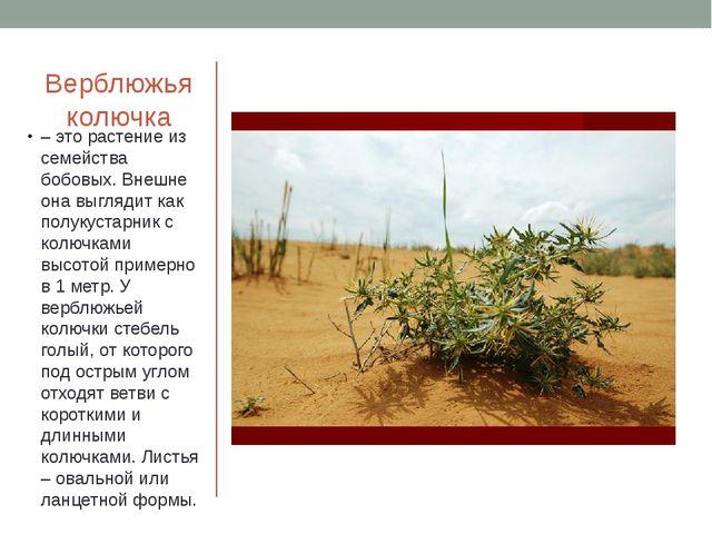 Верблюжья колючка – это растение из семейства бобовых. Внешне она выглядит ка...