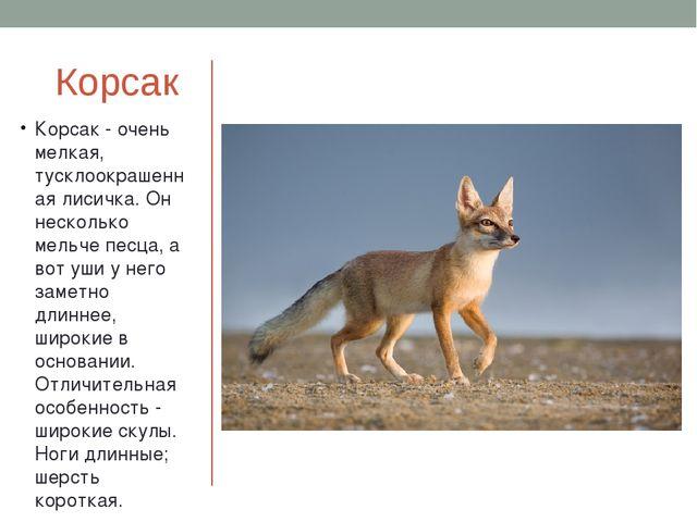 Корсак Корсак - очень мелкая, тусклоокрашенная лисичка. Он несколько мельче п...