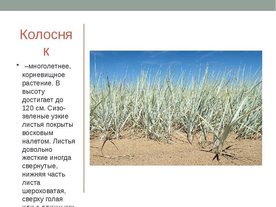 Колосняк –многолетнее, корневищное растение. В высоту достигает до 120 см. С...