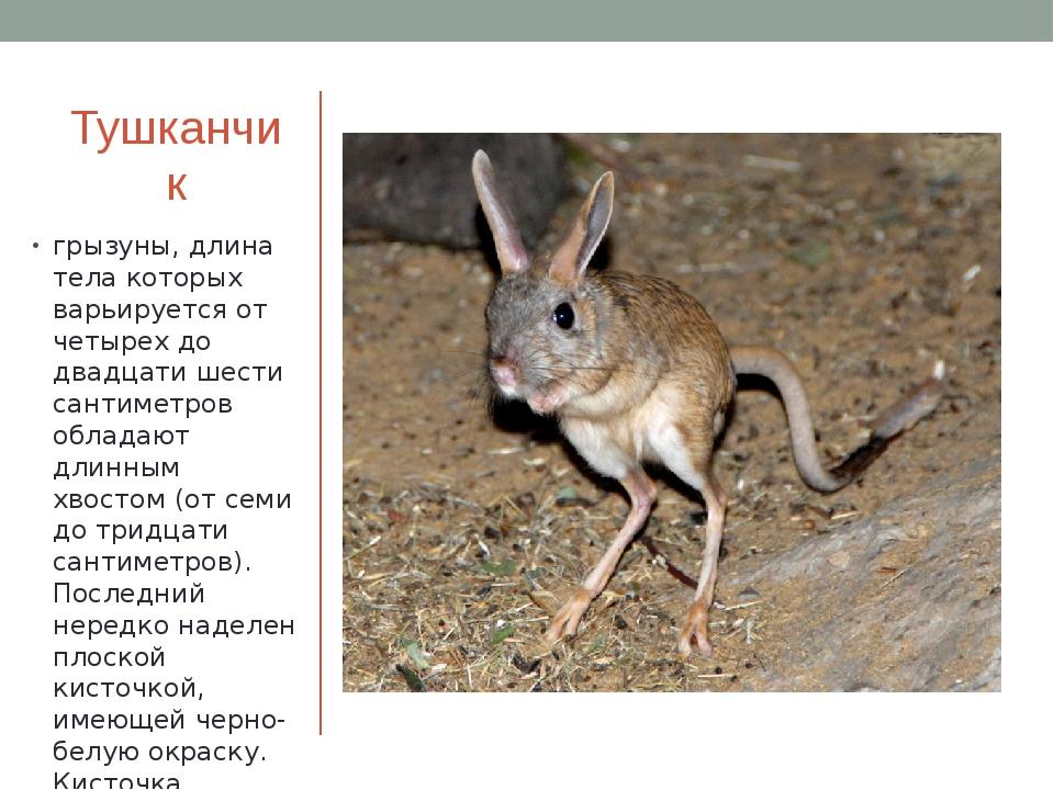 Тушканчик грызуны, длина тела которых варьируется от четырех до двадцати шест...