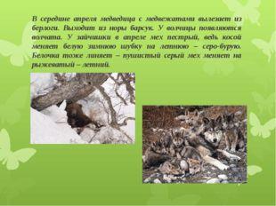 В середине апреля медведица с медвежатами вылезает из берлоги. Выходит из нор