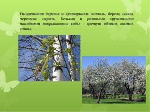 Расцветают деревья и кустарники: тополь, береза, сосна, черемуха, сирень. Бел