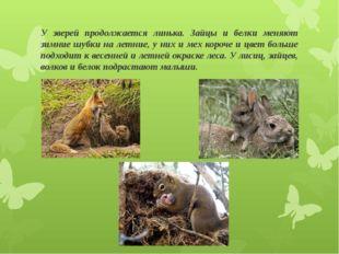 У зверей продолжается линька. Зайцы и белки меняют зимние шубки на летние, у