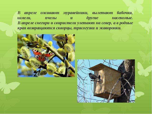 В апреле оживают муравейники, вылетают бабочки, шмели, пчелы и другие насеком...