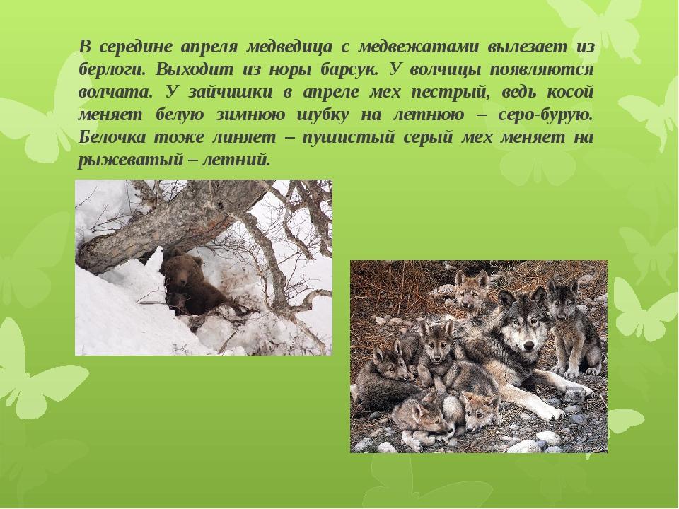В середине апреля медведица с медвежатами вылезает из берлоги. Выходит из нор...