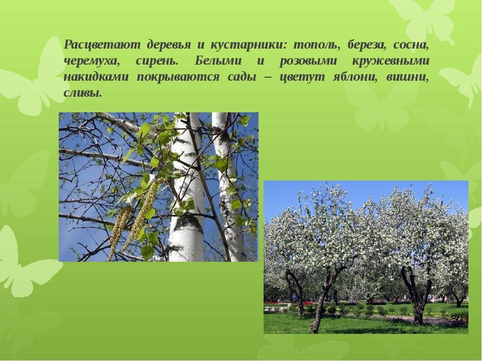 Расцветают деревья и кустарники: тополь, береза, сосна, черемуха, сирень. Бел...