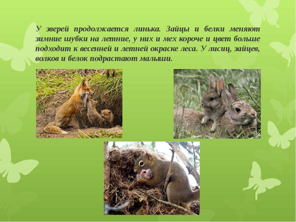 У зверей продолжается линька. Зайцы и белки меняют зимние шубки на летние, у...