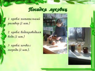 Посадка луковиц 1 проба: питательный раствор (1 шт.) 2 проба: водопроводная в