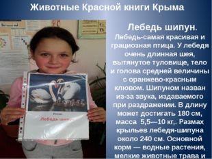 Животные Красной книги Крыма Лебедь шипун. Лебедь-самая красивая и грациозна