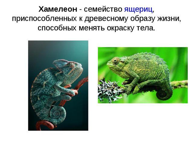 Хамелеон - семейство ящериц, приспособленных к древесному образу жизни, спосо...