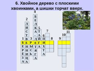 6. Хвойное дерево с плоскими хвоинками, а шишки торчат вверх.