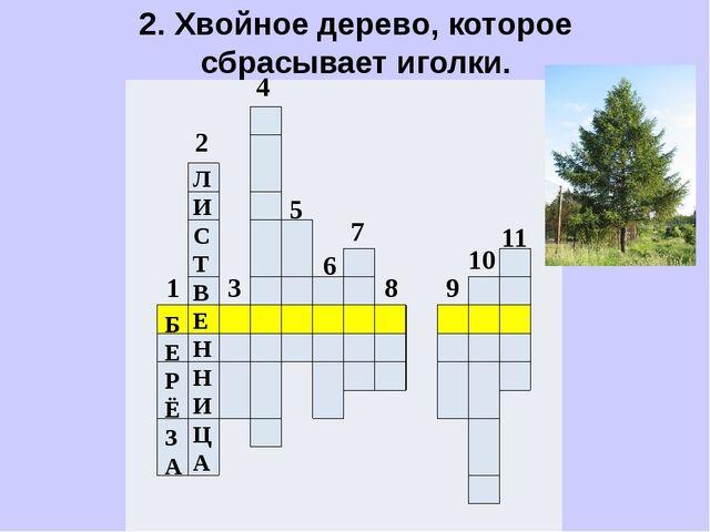 2. Хвойное дерево, которое сбрасывает иголки.                ...