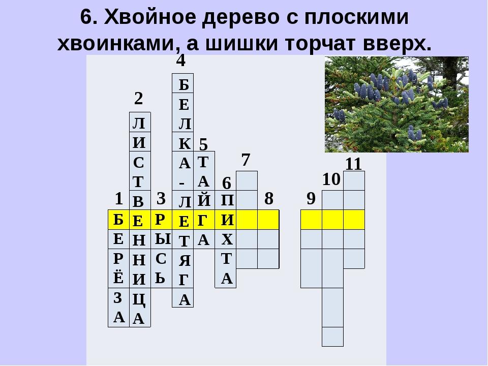 6. Хвойное дерево с плоскими хвоинками, а шишки торчат вверх.        ...