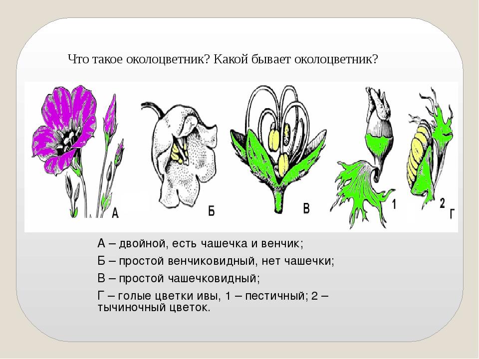 Что такое околоцветник? Какой бывает околоцветник? А – двойной, есть чашечка...