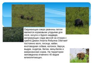 Окружающие озеро равнины летом являются кормовыми угодьями для лося, косули и