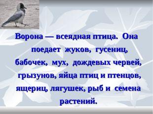 Ворона — всеядная птица. Она поедает жуков, гусениц, бабочек, мух, дождевых ч
