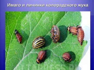 Имаго и личинки колорадского жука