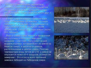 Лебеди – символ любви, верности и чистоты. Пение этих лебедей похоже на звук