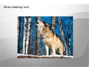 Волк-санитар леса