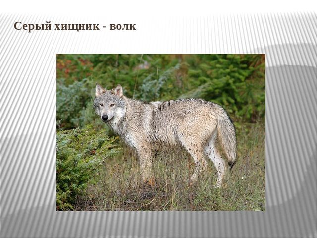 Серый хищник - волк