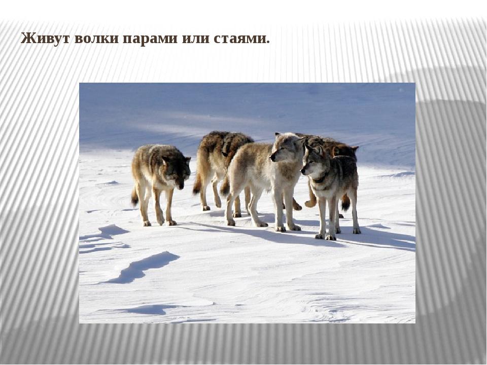 Живут волки парами или стаями.