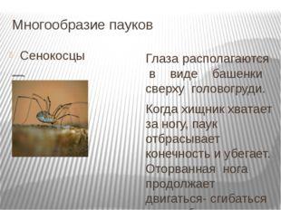 Многообразие пауков Сенокосцы Глаза располагаются в виде башенки сверху голов