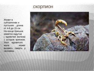скорпион Живет в субтропиках и пустынях , длина от 4-6 до 15 см . На конце бр