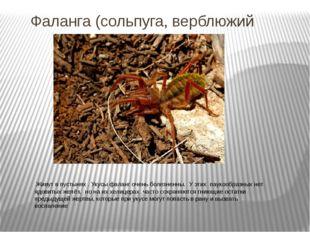 Фаланга (сольпуга, верблюжий паук). Живут в пустынях . Укусы фаланг очень бол