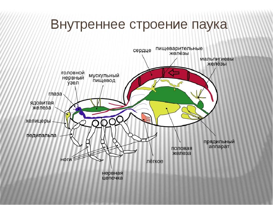 Тест по биологии по паукообразным 7 класс
