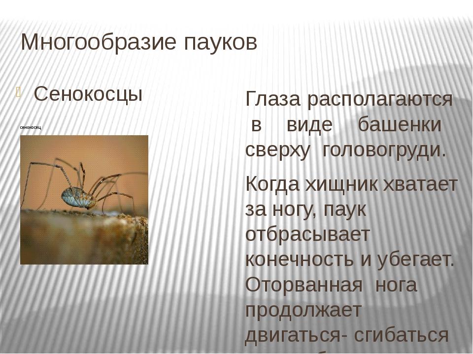 Многообразие пауков Сенокосцы Глаза располагаются в виде башенки сверху голов...